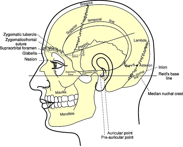 diagram of human skull