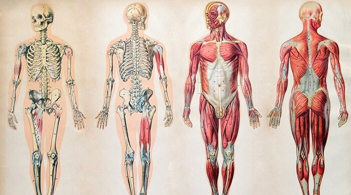 Vintage anatomy drawings of the human body
