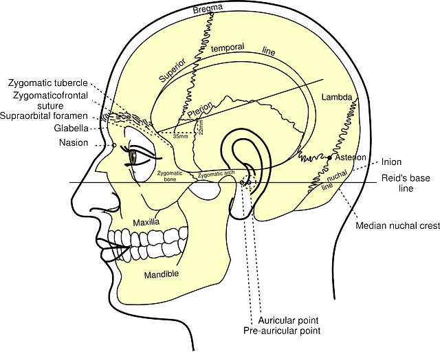diagram of human skull
